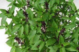 صور عشبة الياس للشعر , اعشاب طبيعية للشعر