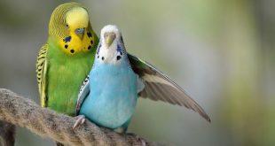 بالصور صور عصافير الحب , احلي رمزيات عصافير 11772 11 310x165