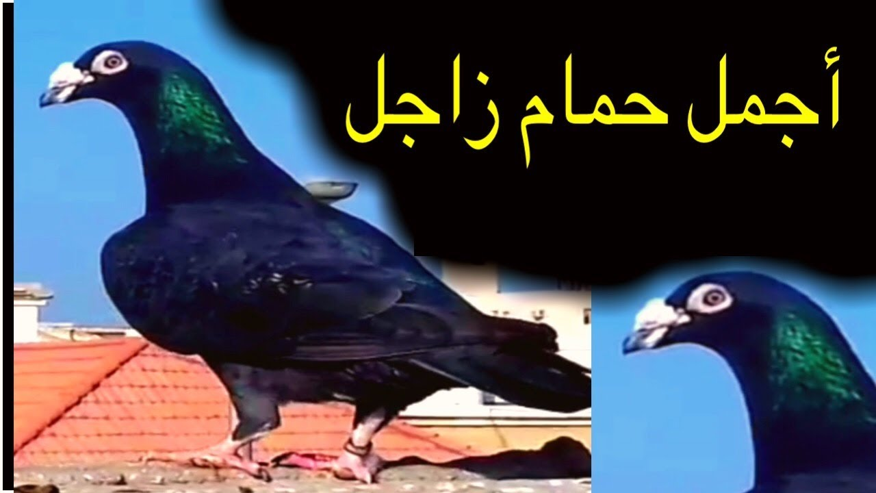 صورة حمام زاجل , يا له من طائر جميل