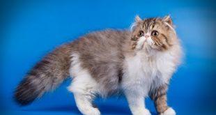 صورة قطط شيرازى , القط الفارسي الاكثر مبيعا