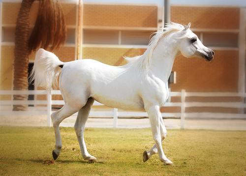صورة الخيل العربي الاصيل , لعشاق الخيول اليكم اروع صورها